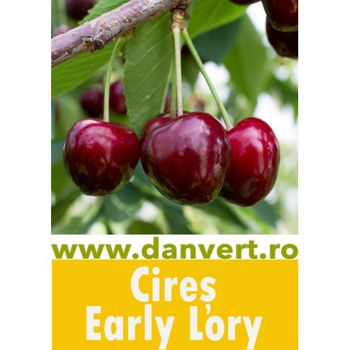 Cires Early Lory