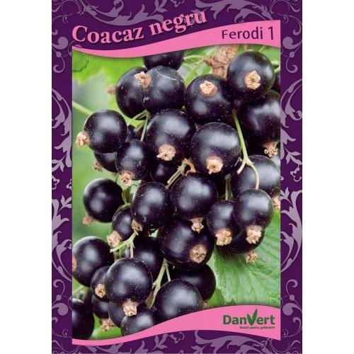 Coacaz negru Fertodi 1