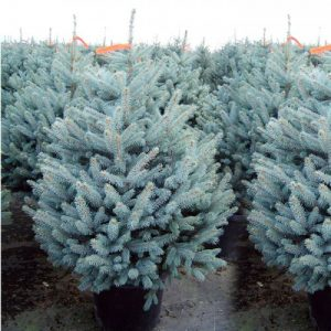 Picea-pungens edith