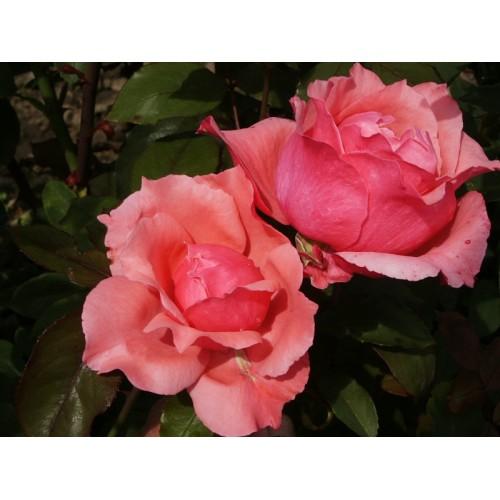 Trandafir Belange