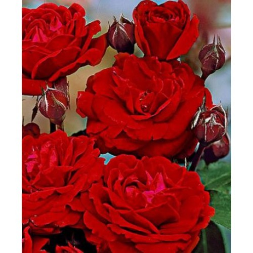 Trandafir Nina Weibull