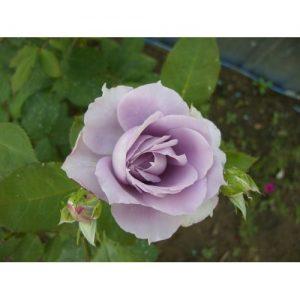 Trandafir Sterling