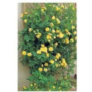 Trandafir Sutter's Gold