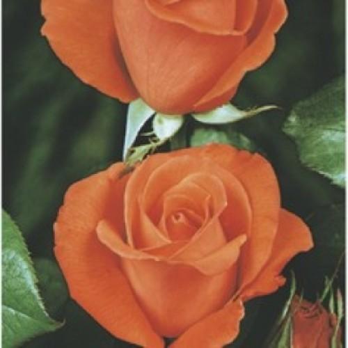 Trandafir Tanostar