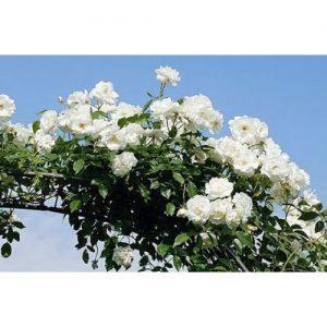 Trandafir Virgo
