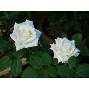 Trandafir Virgo2