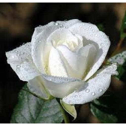 Trandafir White