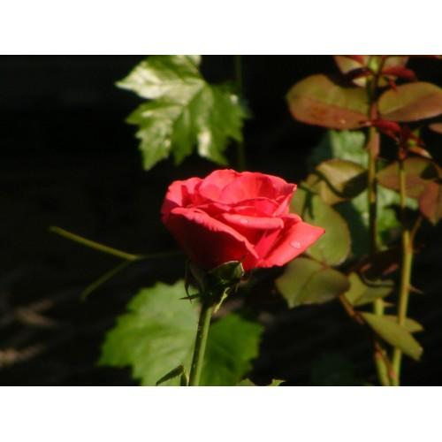 Trandafir-queen-of-bermuda