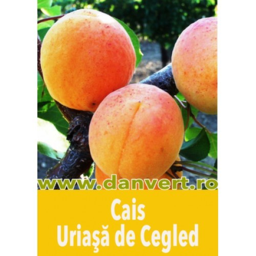 cais_uriasa_de_cegled