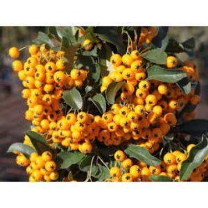 pyracantha galben
