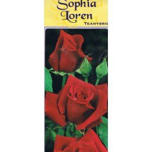 trabdafir Sophia Loren
