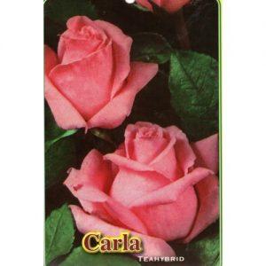 trandafir carla
