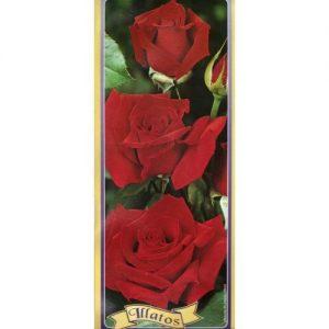 trandafiri Aida