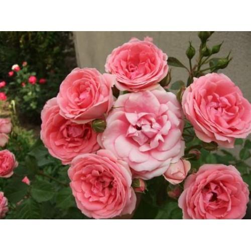 trandafiri Kimono