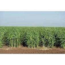 iarba sudan