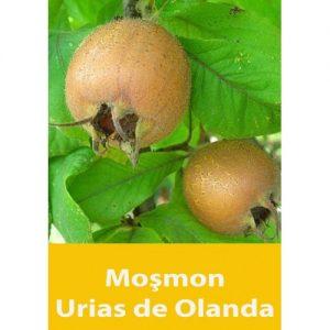 Mosmon Urias de Olanda